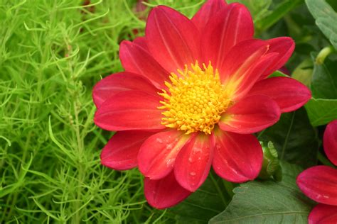 file dahlia at lalbagh flower show 7179 jpg