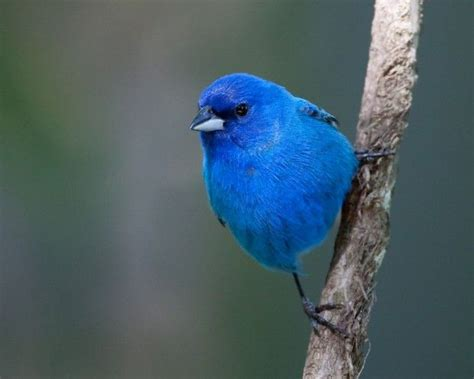17 best images about indigo bunting birds the blue are