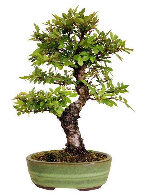 genki bonsai japan ulme ju 2 genki bonsai