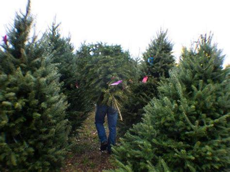 woher kommt der weihnachtsbaum my blog
