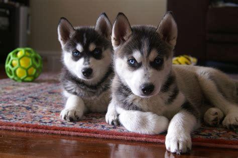 Husky Puppies wallpapers hub siberian huskies puppies wallpapers