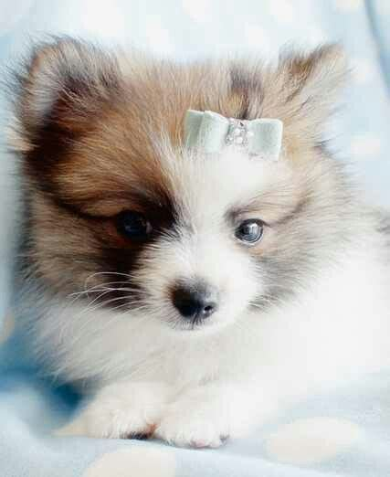 pomeranian montreal 17 best images about pomeranians on teacup pomeranian black pomeranian