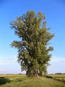 trees planet populus nigra black poplar
