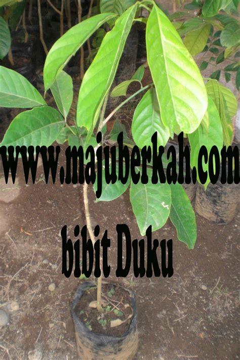 Bibit Cengkeh Sambung bibit duku bibit tanaman duku jual bibit tanaman duku
