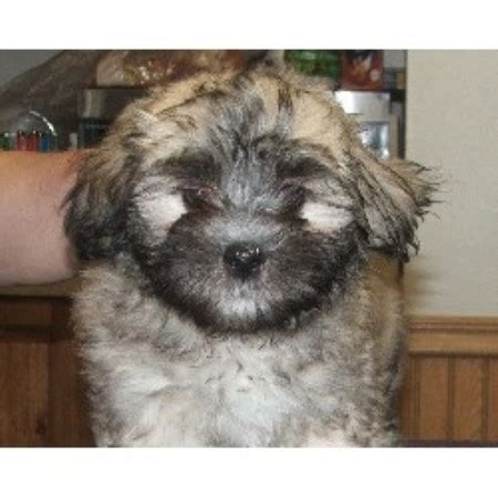 havanese rescue illinois bedlem havanese havanese breeder in linwood kansas