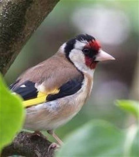 alimentazione cardellini allevatori cardellini uccelli autoctoni