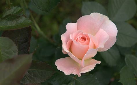 pink rose wallpapers  images