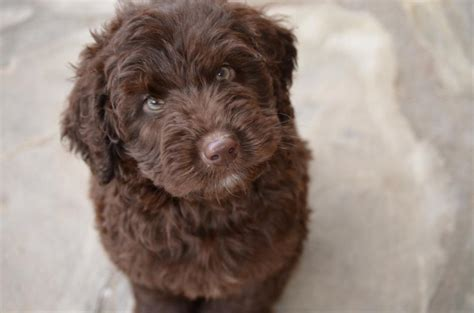 labradoodle puppies chocolate labradoodle and mini labradoodle puppies chocolate labradoodle and mini