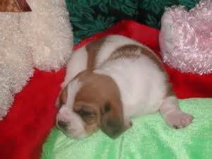 basset hound puppies for sale in arkansas basset hound puppies for sale