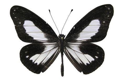 imagenes de mariposas negras y blancas nuevas especies en los montes foja
