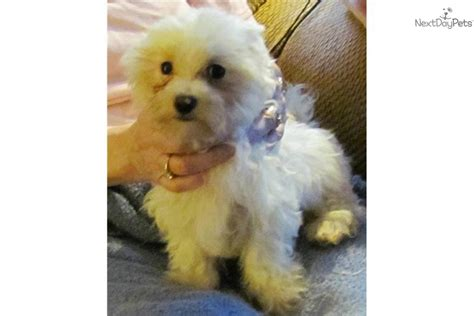 maltese puppy price meet harry a maltese puppy for sale for 400 harry potter price reduced