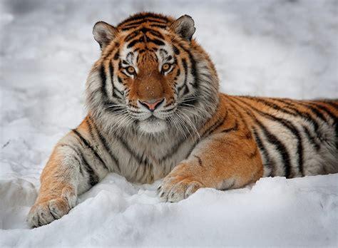 imagenes impactantes de felinos felinos grandes grandes felinos