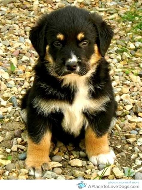 rottweiler german shepherd husky mix rottweiler german shepherd husky mix puppies photo happy heaven