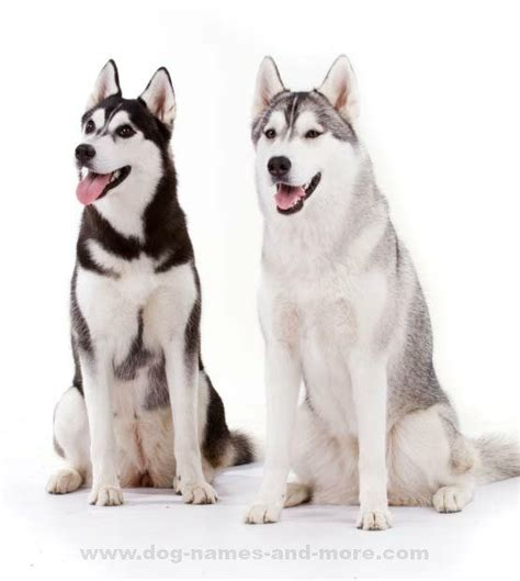 husky names 25 best ideas about husky names on siberian husky names puppy names