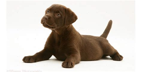 chocolate puppies chocolate labrador puppies printable pictures lovable labradors