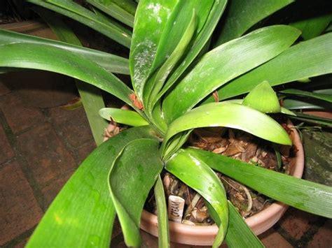 come curare piante da appartamento la clivia piante da interno come curare e annaffiare