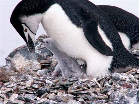 the birds nest penguin chinstrap penguin bird encyclopedia britannica