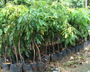 Bibit Kelengkeng Cangkokan 13 cara menanam kelengkeng agar cepat berbuah