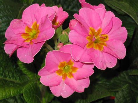 la primula fiori primula primula polyantha piante annuali