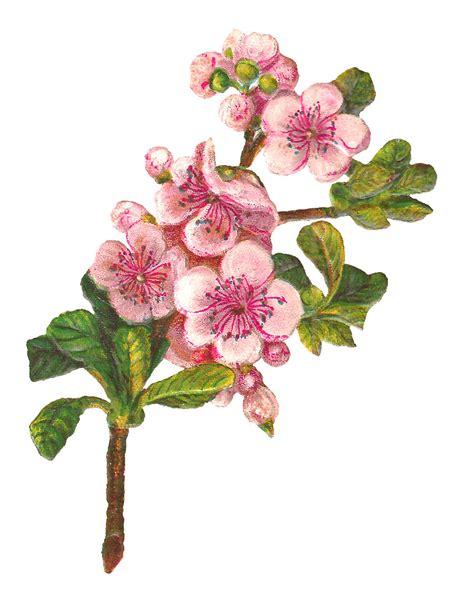 Blossom Free antique images botanical apple blossom flower digital