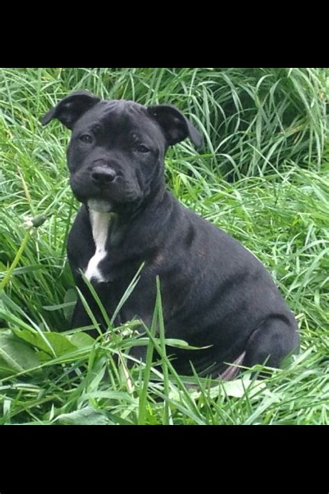 staffordshire bull terrier puppy staffordshire bull terrier puppy abertillery blaenau gwent pets4homes