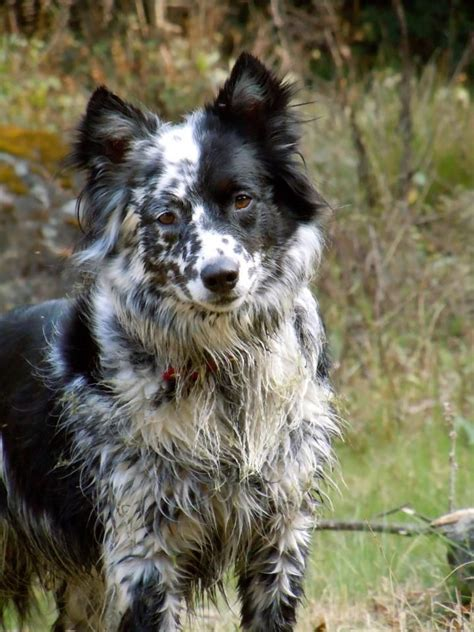 Border Collie Also Search For Border Collie Blue Heeler Mix Search Engine At Search