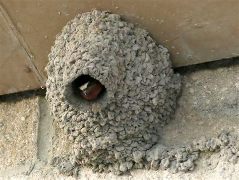 cliff swallow nest yet another unitarian universalist