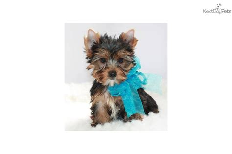 shipping a puppy terrier yorkie puppy for sale near springfield missouri 7a4cec1a 0611