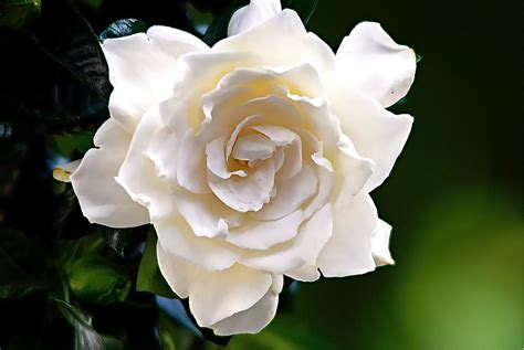 gardenia delivery gardenias are for lovers bay hill florist local