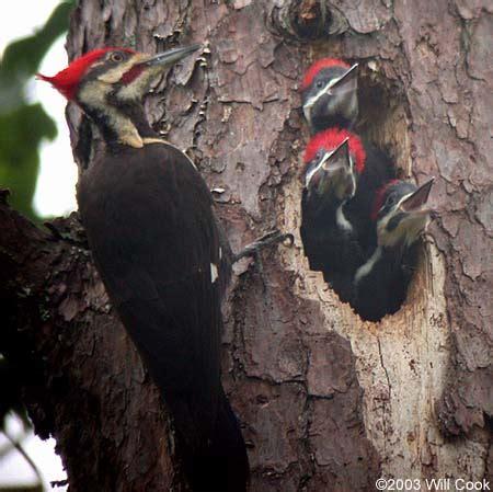 pileated woodpecker dryocopus pileatus