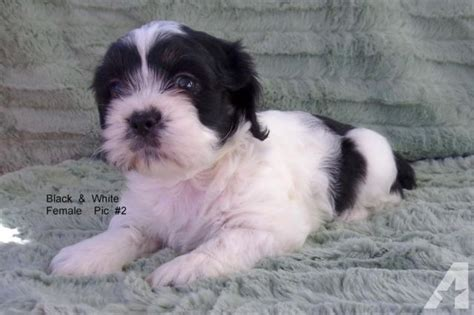 shih tzu cocker spaniel mix cocker spaniel shih tzu mix puppies 8 weeks for sale in auburn illinois classified