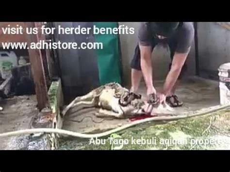 menyembelih kambing dengan pisau herder cap garpu made in solingen germany from adhistore