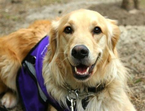 golden retriever service dogs these dogs are the most affectionate breeds in the world