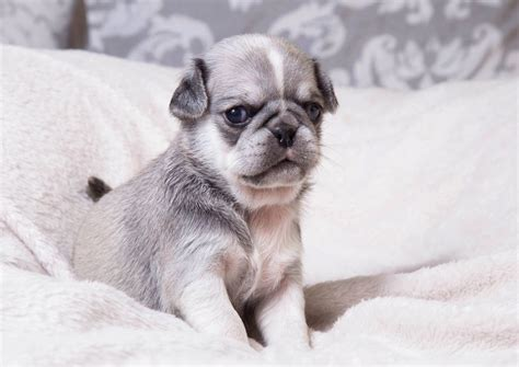 6 week pug puppy care kc reg pugs white chinchilla carriers waltham essex pets4homes