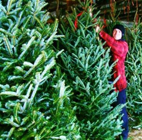 fresh christmas trees near me fresh trees at downey s farm market in caledon ontario near toronto