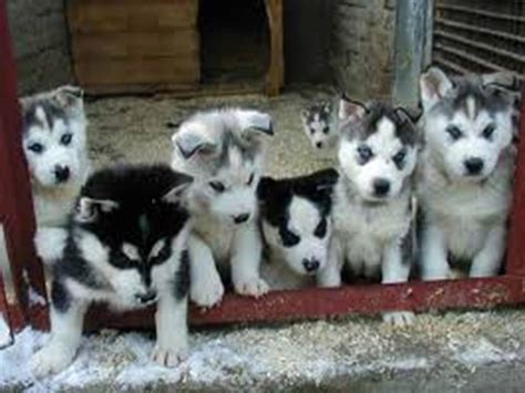 puppies husky lovely pets siberian husky puppies gallery