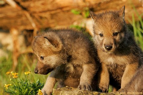timber wolf puppies timberwolf signs
