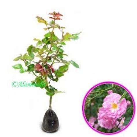 Beli Bibit Bunga Mawar Rambat jual tanaman climbing pink hp 085608566034
