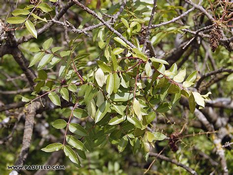 tree in bible trees of the bible acacia almond carob fig myrtle