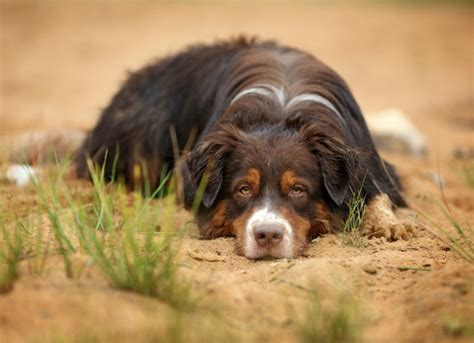 inflammatory bowel disease in dogs inflammatory bowel disease ibd in dogs petmd