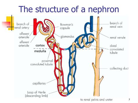 diagram of the nephron excretion in plants and animals ppt