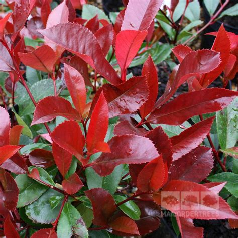 Photinia Robin by Photinia Robin Is A Glossy Leaved Small Tree With