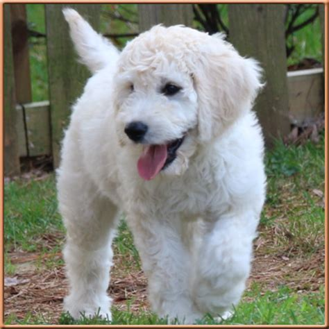 Goldendoodle Shed by Goldendoodles The Best F1b Goldendoodles In