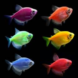 Glofish for Sale   Buy live Glowfish for your Tank   thatpetplace.com
