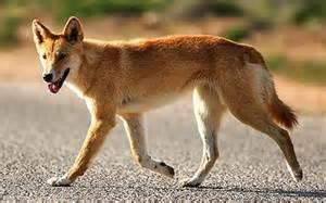 dingo natural history