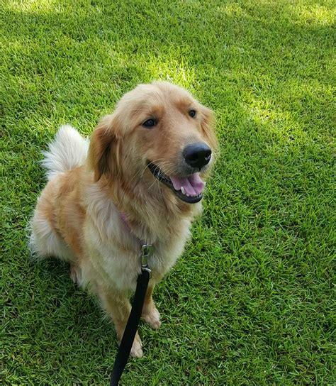 grand golden retriever rescue goldette s web page