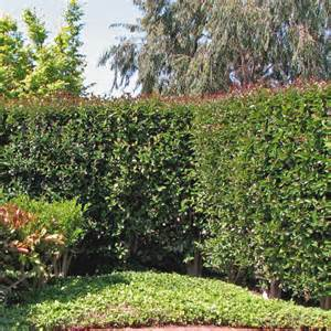 Formal Cottage Garden - syzygium paniculatum monterey bay