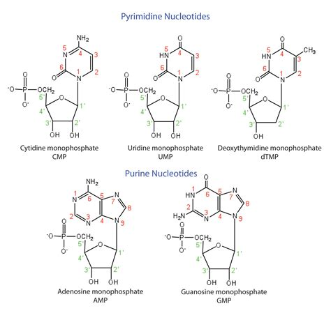 Figure 19 3 the pyrimidine and purine nucleotides