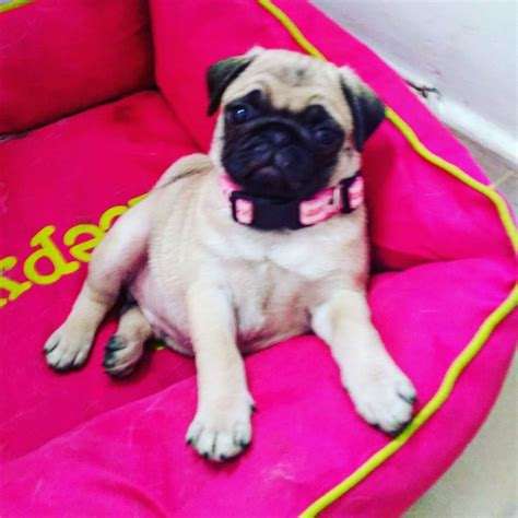 2 month pug pug pup 3 1 2 month home bred liverpool merseyside pets4homes