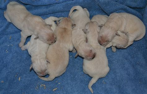 golden retriever litter golden retriever puppies how to choose the right puppy